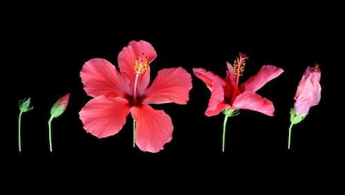 Five stages of a red hibiscus flower's development from a tight green bud, to a bud showing the red petals, to the flower in full bloom, then the gradual wilting of the flower until it has finally faded, on a black background.